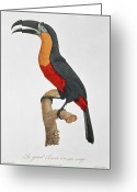 Yellow Beak Painting Greeting Cards - Giant Touraco Greeting Card by Jacques Barraband