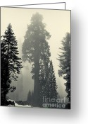 Biggest Tree Greeting Cards - Giant tree - toning Greeting Card by Hideaki Sakurai