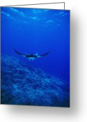 Marine Animals Greeting Cards - Gianta Pacific Manta Ray Swimming Greeting Card by James Forte