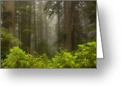 Redwood Greeting Cards - Giants in the Mist Greeting Card by Mike  Dawson