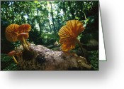 Gill Island Greeting Cards - Gill Mushroom Xeromphalina Sp Group Greeting Card by Christian Ziegler