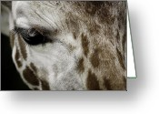 Barry Styles Greeting Cards - Giraffe 11 Greeting Card by Barry Styles