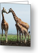 Three Animals Greeting Cards - Giraffe Family Greeting Card by Sallyrango