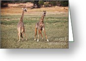 Safari Park Greeting Cards - Giraffe  Greeting Card by Gualtiero Boffi