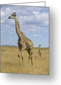 African Animals Greeting Cards - Giraffe Mother And 3 Week Old Calf Greeting Card by Suzi Eszterhas