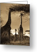 Sepia Toned Greeting Cards - Giraffe Stretch Their Necks To Reach Greeting Card by Ralph Lee Hopkins