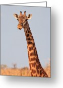 Giraffe Greeting Cards - Giraffe Tongue Greeting Card by Adam Romanowicz