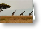 Tree. Acacia Greeting Cards - Giraffes on Parade Greeting Card by Joe Bonita