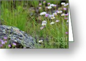 Aster  Photo Greeting Cards - Glacial Daisies  Greeting Card by Karon Melillo DeVega