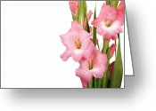 Copyspace Greeting Cards - Gladioli on white Greeting Card by Jane Rix