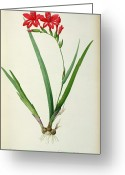 21st Greeting Cards - Gladiolus Cardinalis Greeting Card by Pierre Joseph Redoute