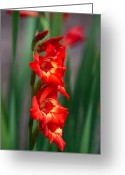 Love Making Greeting Cards - Gladiolus Illuminated Greeting Card by Douglas Barnett