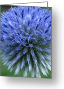 Fine Art Flower Photography Greeting Cards - Globe Thistle Greeting Card by Juergen Roth