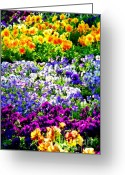 Flower Gardens Greeting Cards - Glorious Pansys Greeting Card by Karen Wiles