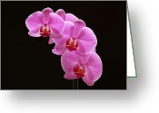 Flower Over Black Photo Greeting Cards - Glorious Pink Orchids Greeting Card by Juergen Roth