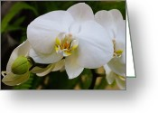 Kansas City Missouri Greeting Cards - Glorious White Orchid Greeting Card by Andee Photography