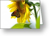 Butterfly Greeting Cards - Glowing Monarch on Sunflower Greeting Card by Edward Sobuta