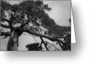Cedar Fence Greeting Cards - Gnarly Cedar Tree Greeting Card by Teresa Mucha