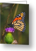 Butterflies Greeting Cards - Gods Creation-16 Greeting Card by Robert Pearson
