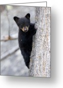 Black Bear Climbing Tree Greeting Cards - Going Down Greeting Card by Max Waugh