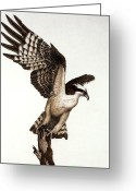 Colored Pencil Greeting Cards - Going Fishin osprey Greeting Card by Pat Erickson