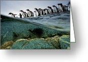 Pygoscelis Papua Greeting Cards - Going Go Sea, Gentoo Penguins, Line Greeting Card by Paul Nicklen