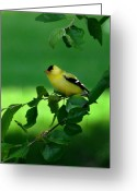 Huisken Greeting Cards - Gold Finch Greeting Card by Lyle  Huisken