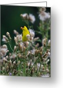 Seed Mixed Media Greeting Cards - Gold Finches-12 Greeting Card by Robert Pearson