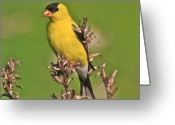 Tree Artwork Mixed Media Greeting Cards - Gold Finches-6 Greeting Card by Robert Pearson