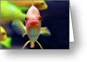 Goldfish Greeting Cards - Gold Fish Greeting Card by Violet Kashi Photography