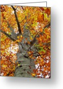 Oldgrowth Greeting Cards - Golden Beech Greeting Card by Joshua Bales