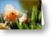 Flowers Photographs Greeting Cards - Golden Daffodils  Greeting Card by Venura Herath