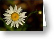 Aster  Greeting Cards - Golden Daisy 1 Greeting Card by Douglas Barnett