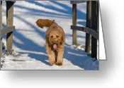 Tom Biegalski Greeting Cards - Golden Doodle in the snow Greeting Card by Tom Biegalski