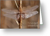 Tans Greeting Cards - Golden Dragonfly Wings Greeting Card by Carol Groenen