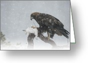 Hunter Greeting Cards - Golden Eagle Greeting Card by Andy Astbury