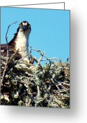 Osprey Photo Greeting Cards - Golden Eyes Greeting Card by Karen Wiles
