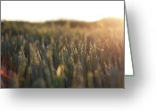 "\""sunset Photography\\\"" Greeting Cards - Golden Field At Sunset Greeting Card by these are photos taken by Marius Brede, please enjoy"