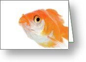 Goldfish Greeting Cards - Golden Fish Greeting Card by Buy It