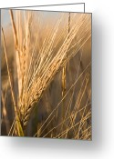 Idaho Artist Greeting Cards - Golden Grain Greeting Card by Cindy Singleton