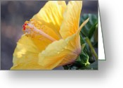 Backlit Greeting Cards - Golden Hibiscus - Early Morning Greeting Card by Suzanne Gaff