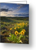 Balsamroot Greeting Cards - Golden Hills Greeting Card by Mike  Dawson