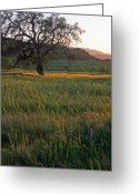 Trees Framed Prints Greeting Cards - Golden Light Greeting Card by Kathy Yates
