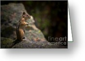Boulder Greeting Cards - Golden Mantled Ground Squirrel Rocky Mountains Colorado Greeting Card by Christine Till