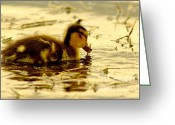 Duckling Greeting Cards - Golden Moment Greeting Card by Robert Frederick