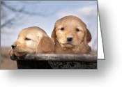 Idaho Artist Greeting Cards - Golden Puppies Greeting Card by Cindy Singleton