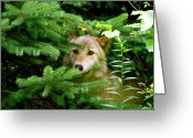 Playful Wolves Greeting Cards - Golden Red Wolf Greeting Card by Debra     Vatalaro