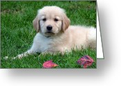 Retriever Prints Photo Greeting Cards - Golden Retriever Puppy Greeting Card by Toni Thomas
