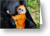 Silvered Leaf Monkey Greeting Cards - Golden Silvery Lutung Baby Greeting Card by MelindaChan