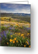 Balsamroot Greeting Cards - Golden Valley Greeting Card by Mike  Dawson